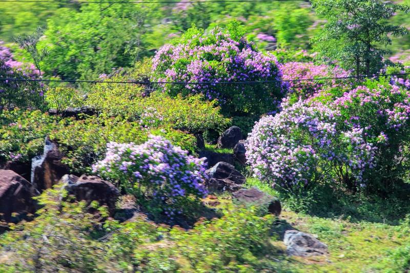 Núi Tàu khô khát quanh năm, mùa hạ về bỗng bừng lên sắc tím - ảnh 2