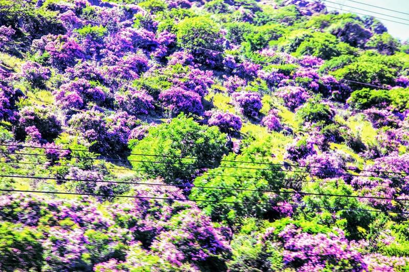 Núi Tàu khô khát quanh năm, mùa hạ về bỗng bừng lên sắc tím - ảnh 1