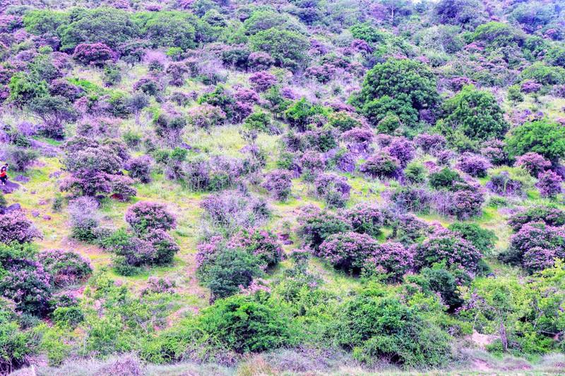 Núi Tàu khô khát quanh năm, mùa hạ về bỗng bừng lên sắc tím - ảnh 4
