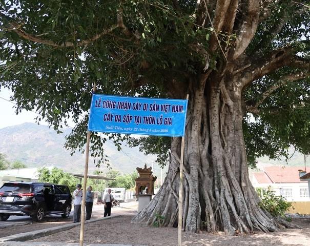 Công nhận thêm 5 cây di sản tại Khánh Hòa - ảnh 2