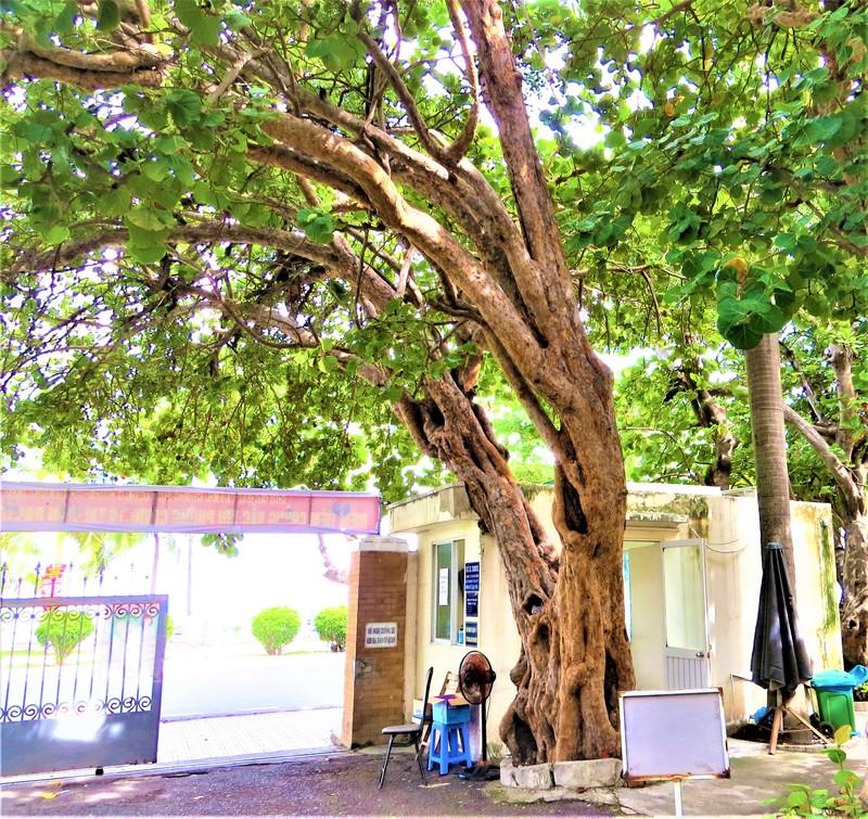 Công nhận hai cây tra ở Viện Pasteur Nha Trang là cây di sản - ảnh 2