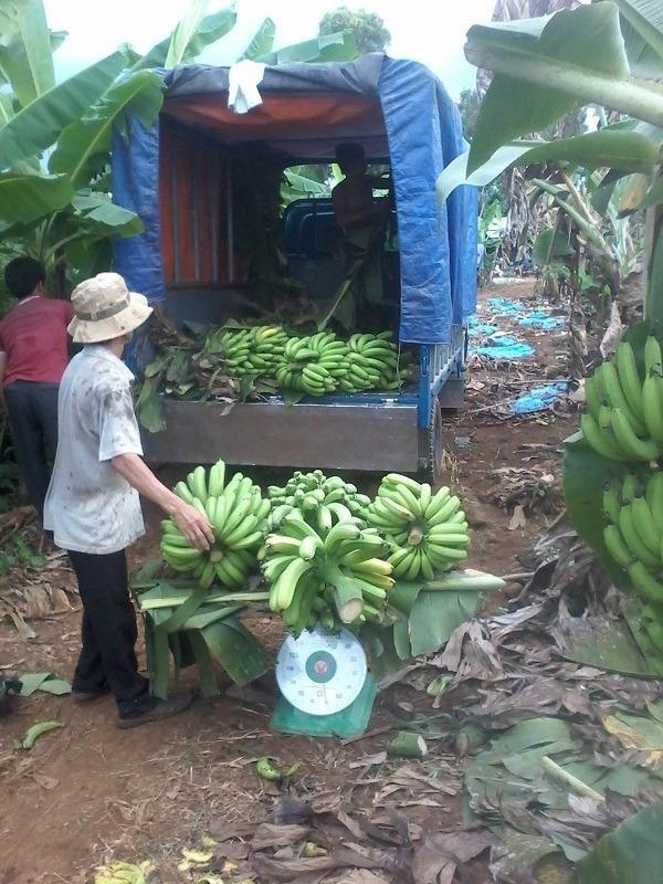 hiều xe tải nhỏ được điều động vào vườn để vận chuyển chuối đi bán