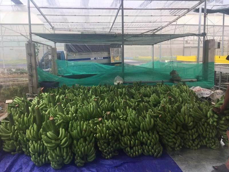 Đây chỉ là một số lượng nhỏ trong hơn 20 tấn chuối mà anh Chính đã bán giúp người dân Đồng Nai.