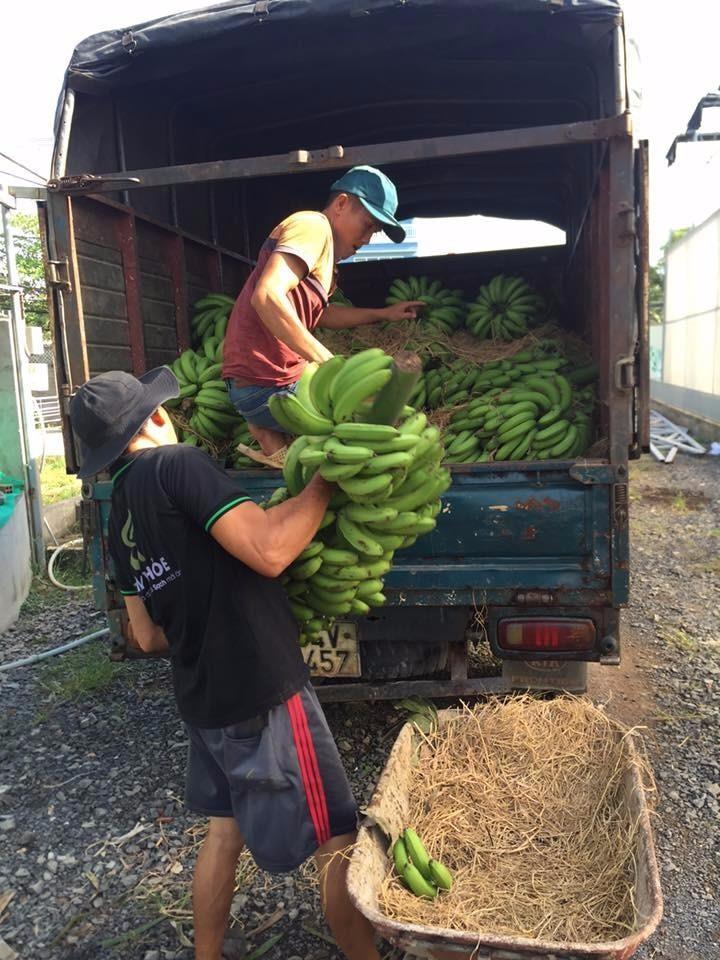 Nhân viên của anh Chính đang vận chuyển chuối về nông trại