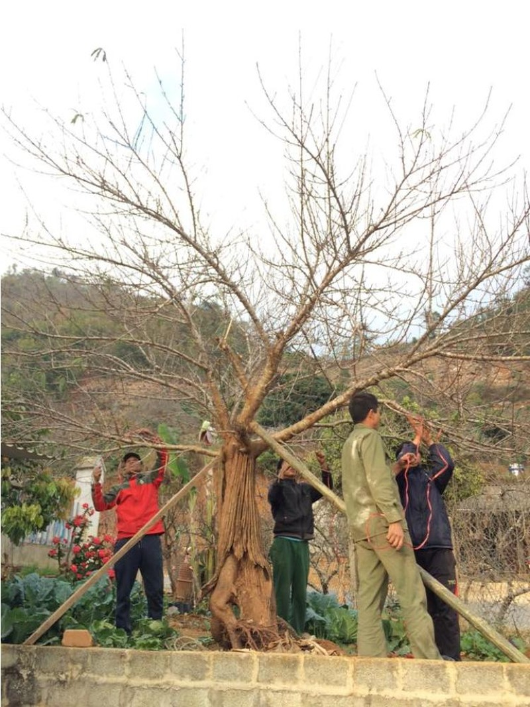 Chiêm ngưỡng cây đào mọc từ thân cây cổ thụ hiếm thấy - ảnh 1