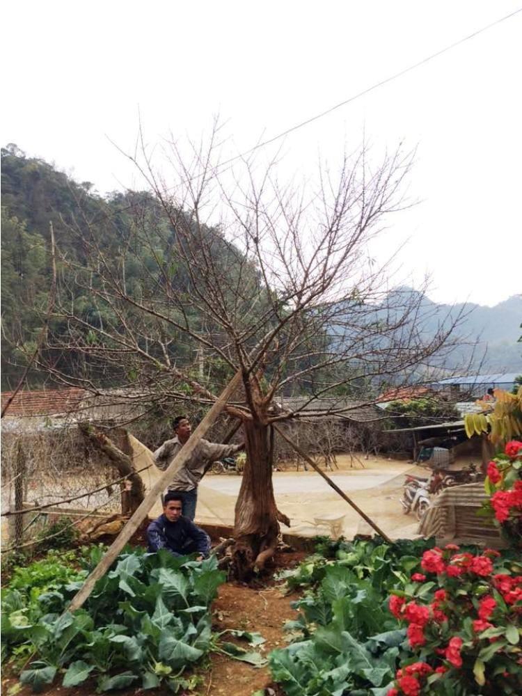 Chiêm ngưỡng cây đào mọc từ thân cây cổ thụ hiếm thấy - ảnh 3