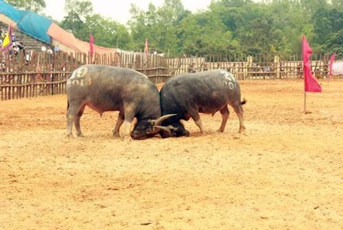 Đề nghị tạm dừng Lễ hội chọi trâu ở Phú Thọ vì dịch Corona - ảnh 1