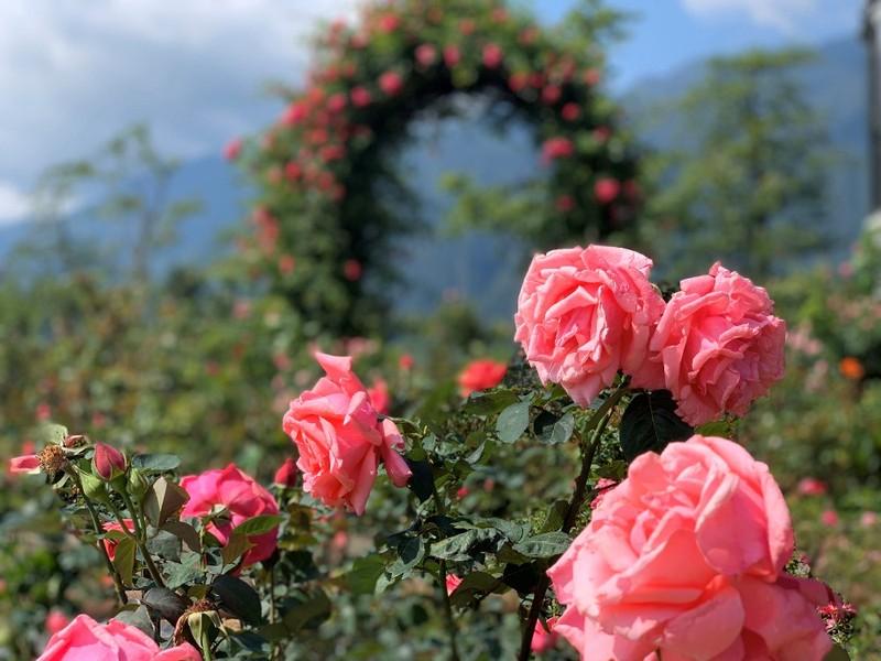 Mê mẩn với thung lũng hoa hồng lớn nhất Việt Nam - ảnh 2