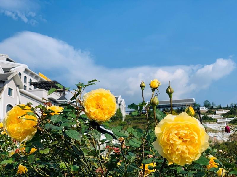 Mê mẩn với thung lũng hoa hồng lớn nhất Việt Nam - ảnh 3