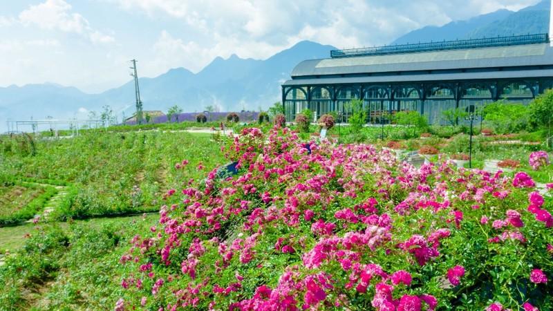 Mê mẩn với thung lũng hoa hồng lớn nhất Việt Nam - ảnh 4