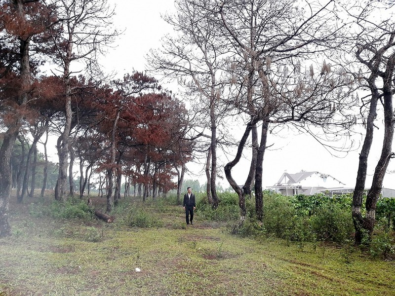 Truy tìm kẻ bức tử 102 cây thông - ảnh 1
