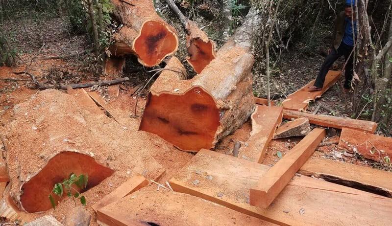 Gỗ rừng Vườn quốc gia Yok Đôn lại bị đốn hạ - ảnh 1