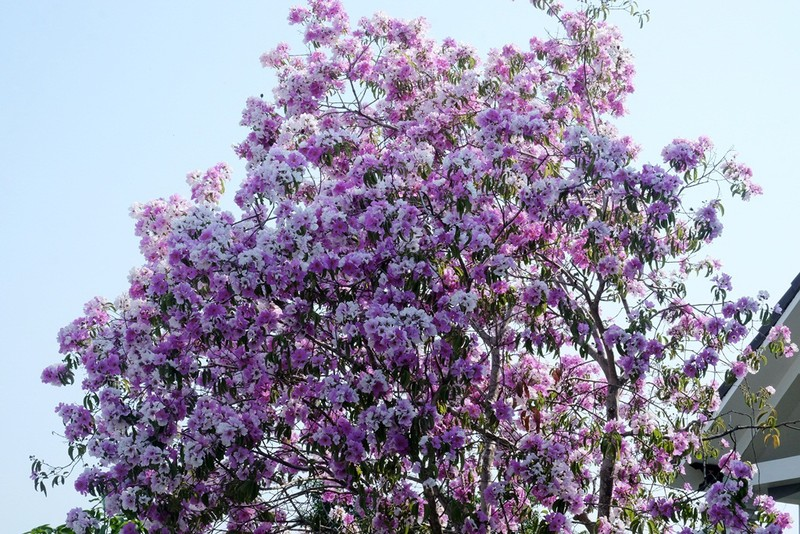 Cây hoa bằng lăng rừng 'giá bao nhiêu cũng không bán' - ảnh 2