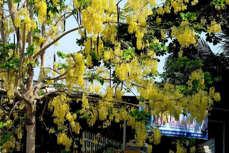 Cây hoa bằng lăng rừng 'giá bao nhiêu cũng không bán' - ảnh 5