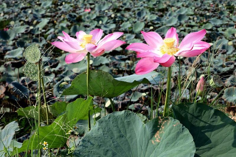 Cây hoa bằng lăng rừng 'giá bao nhiêu cũng không bán' - ảnh 4