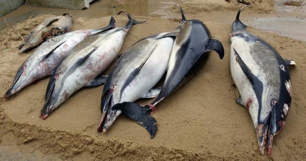 1.100 con cá heo bị cắt xẻo dạt vào bờ biển Pháp - ảnh 1