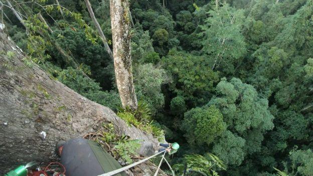 Tìm ra cây nhiệt đới cao nhất thế giới - ảnh 1