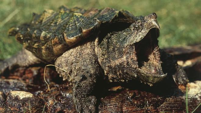 Quái thú rùa cá sấu: Kẻ đi săn cắn nát bét con mồi trong nháy mắt - Ảnh 1.