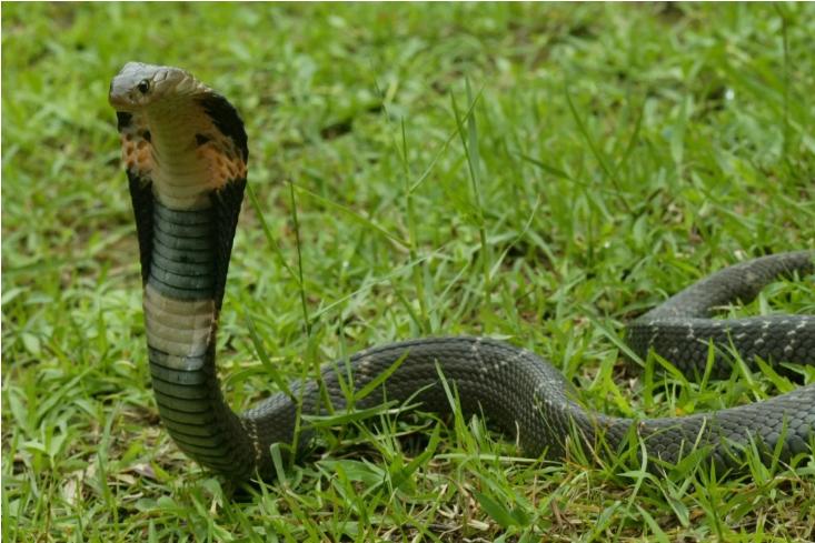 Virus Vũ Hán có thể đến từ loài rắn? - ảnh 1