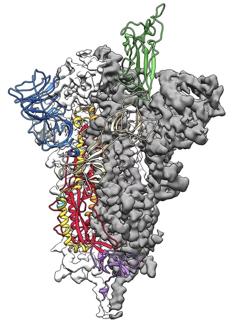 Mỹ công bố mô hình phân tử 3D đầu tiên về virus COVID-19 - ảnh 1