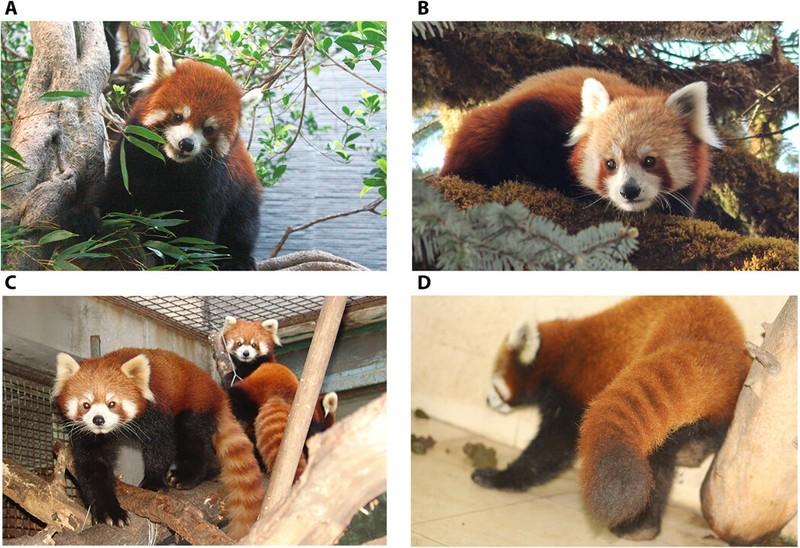 Nghiên cứu di truyền cho thấy có 2 loài gấu trúc đỏ khác nhau - ảnh 1