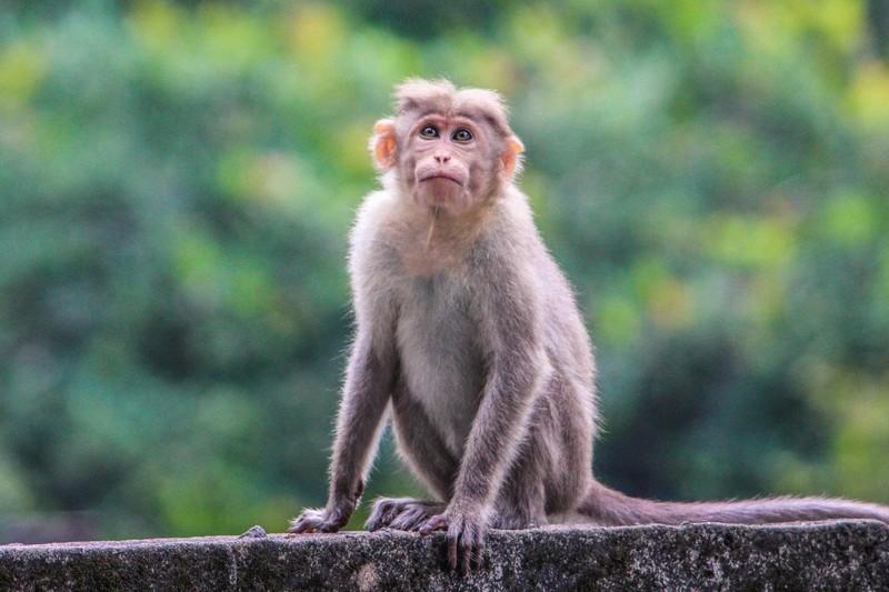 Mỹ tìm ra loại vaccine bảo vệ khỉ khỏi COVID-19 - ảnh 1