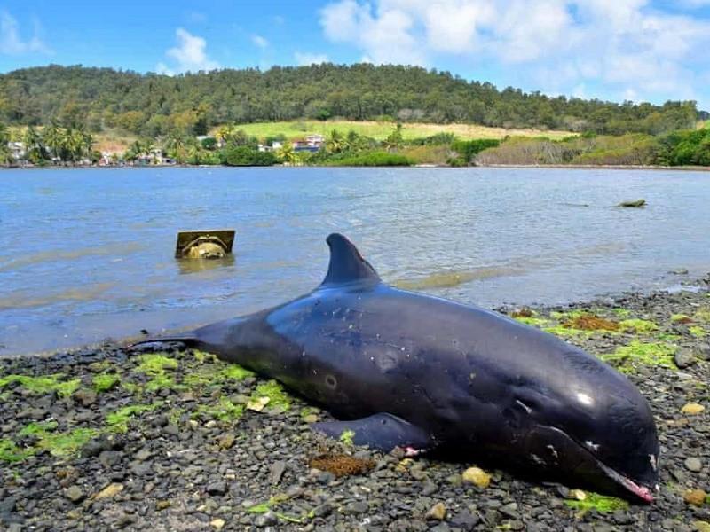 Cá heo chết hàng loạt sau vụ tràn dầu ở quốc đảo Ấn Độ Dương - ảnh 1