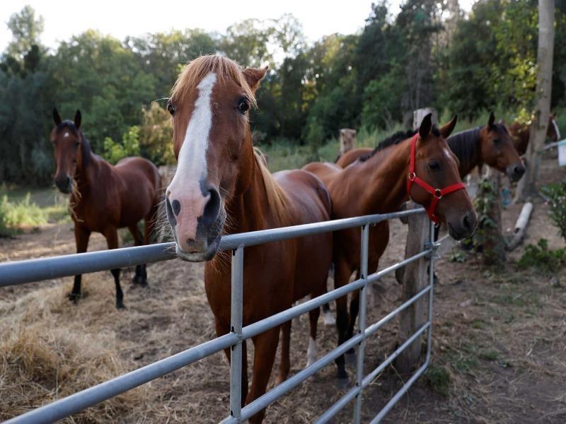 Điều tra hàng loạt vụ giết ngựa rùng rợn tại Pháp - ảnh 1