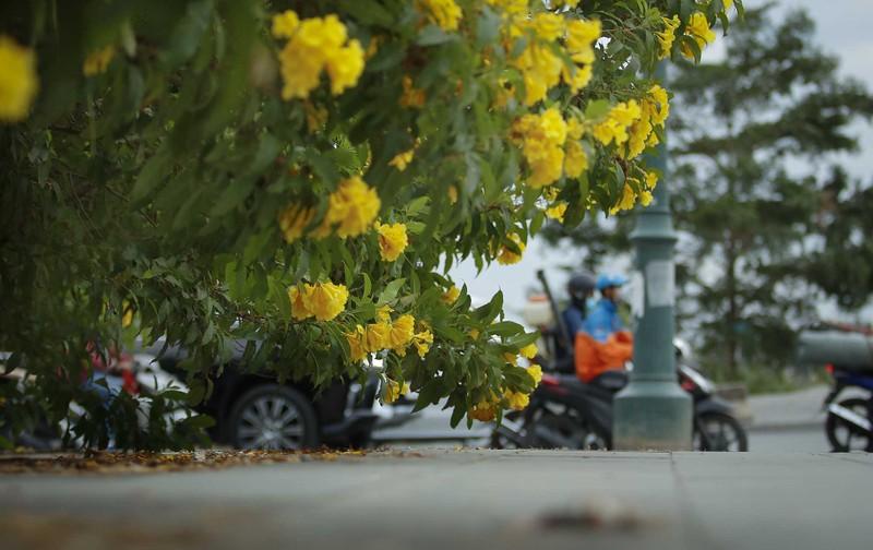Bộ ảnh: Huỳnh liên nở rợp trên đường phố Sài Gòn - ảnh 9