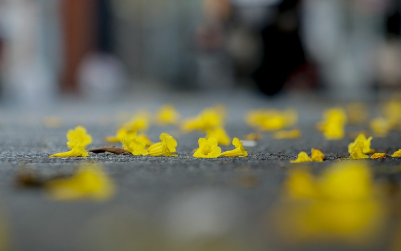 Bộ ảnh: Huỳnh liên nở rợp trên đường phố Sài Gòn - ảnh 8