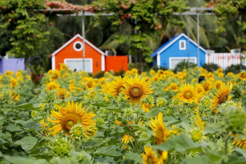 Đẹp ngỡ ngàng Cánh đồng hoa bên sông Sài Gòn - ảnh 7
