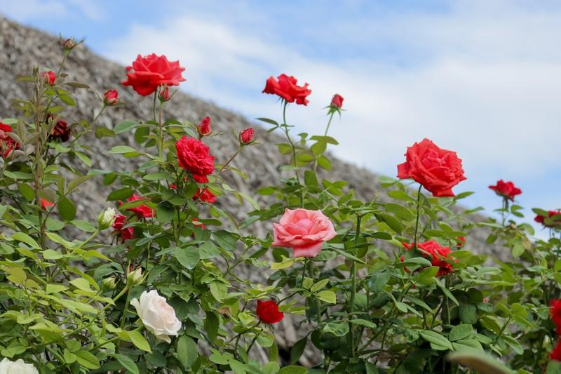 Đẹp ngỡ ngàng Cánh đồng hoa bên sông Sài Gòn - ảnh 15