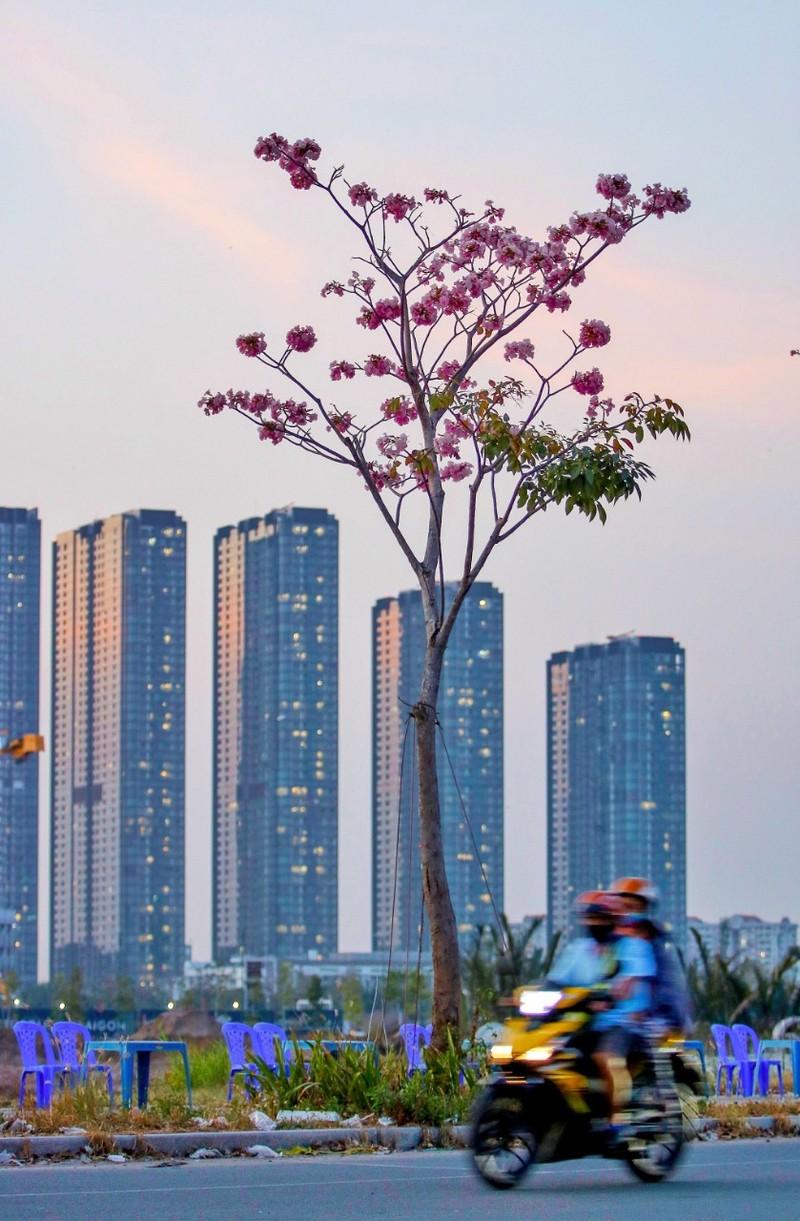 Sài Gòn - mùa kèn hồng lại đến - ảnh 9