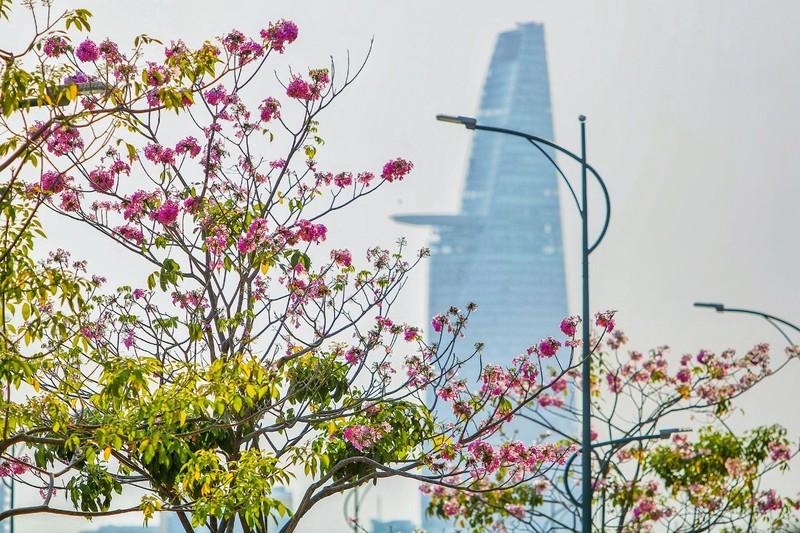 Sài Gòn - mùa kèn hồng lại đến - ảnh 1