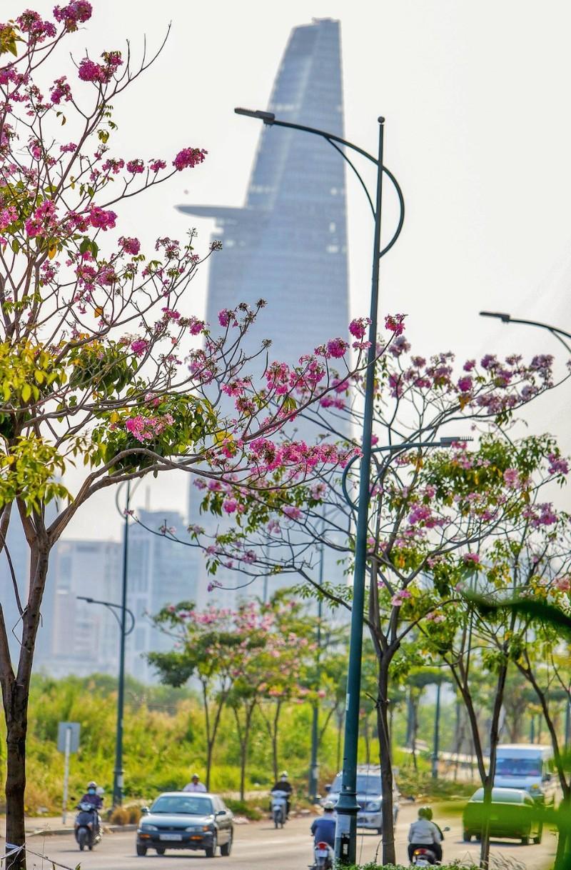 Sài Gòn - mùa kèn hồng lại đến - ảnh 6