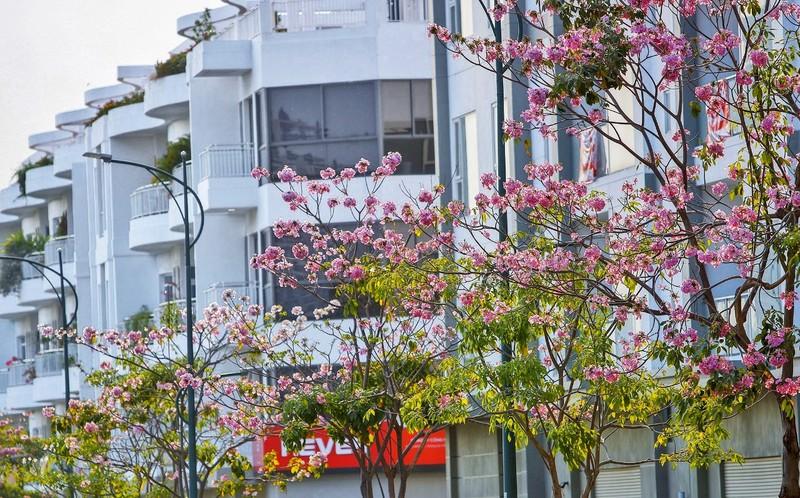 Sài Gòn - mùa kèn hồng lại đến - ảnh 7