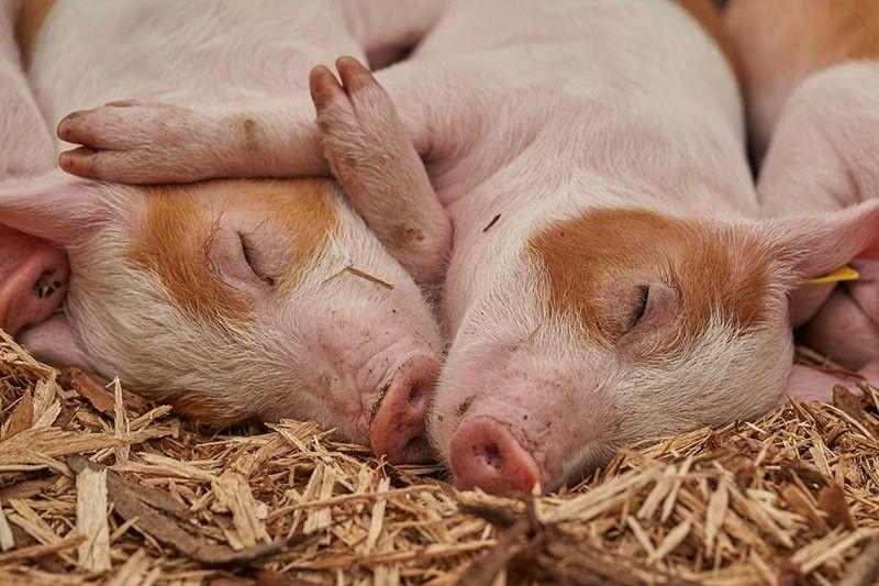 Nhóm khoa học Nhật: Lợn có thể hấp thụ khí ôxy qua hậu môn - ảnh 1