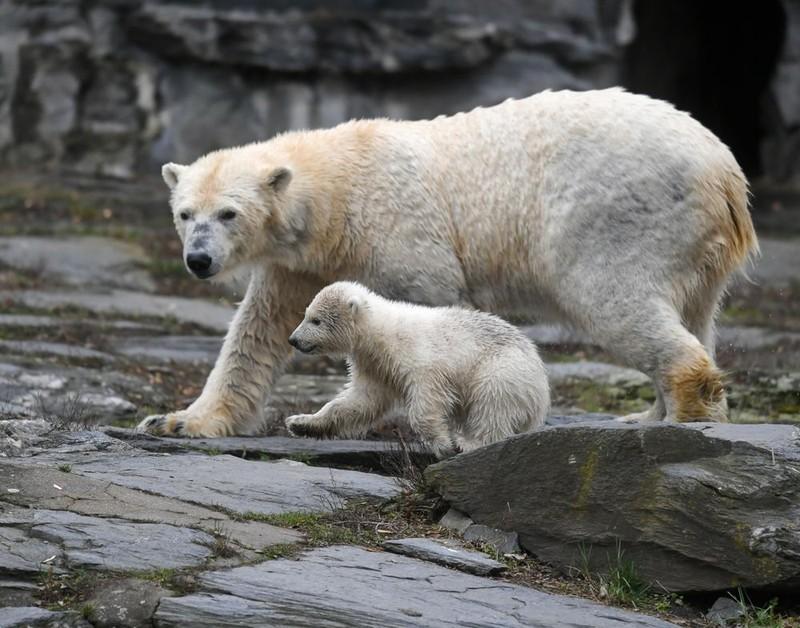 SỐC:Vườn thú sai sót để chị em gấu Bắc Cực giao phối cận huyết - ảnh 1