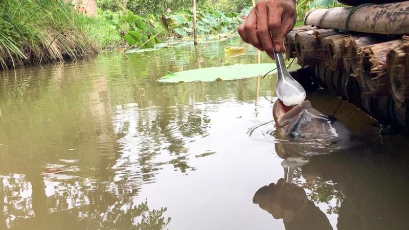 Độc đáo đàn cá 'chảnh', ăn phải đút bằng muỗng - ảnh 4