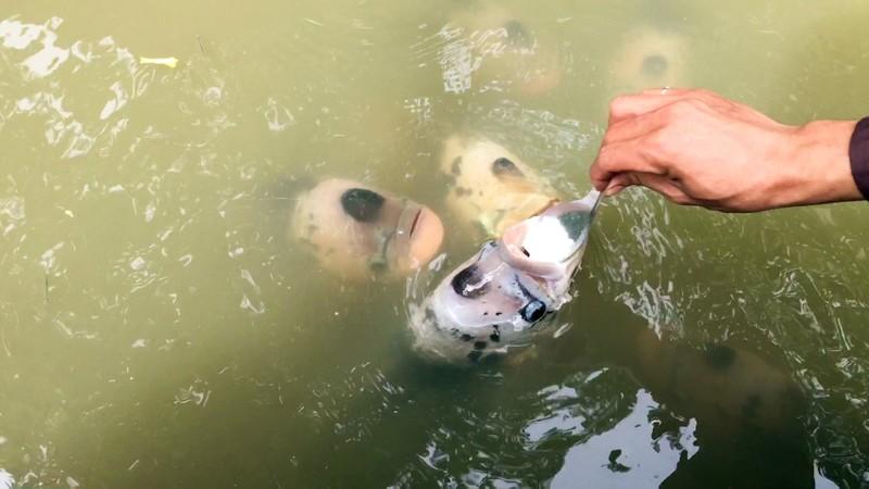 Độc đáo đàn cá 'chảnh', ăn phải đút bằng muỗng - ảnh 3