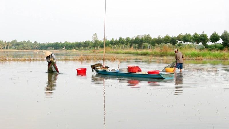 Mùa đặt lú bắt cá đồng ở miền Tây - ảnh 4