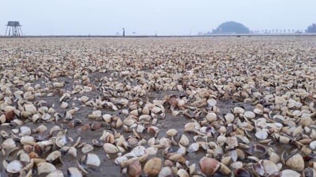 Sau bão số 3, ngao chết nổi trắng biển Thái Bình - ảnh 2