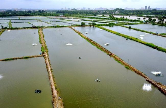 Cảnh báo nguy cơ virus mới từ tôm Trung Quốc vào Việt Nam - ảnh 1