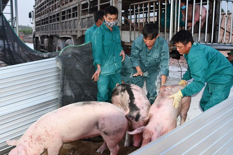 Heo sống Thái Lan chính ngạch về đến cửa khẩu Lao Bảo - ảnh 1