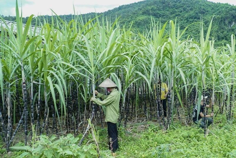 Chính thức: đường Thái Lan bị áp thuế chống bán phá giá  - ảnh 1