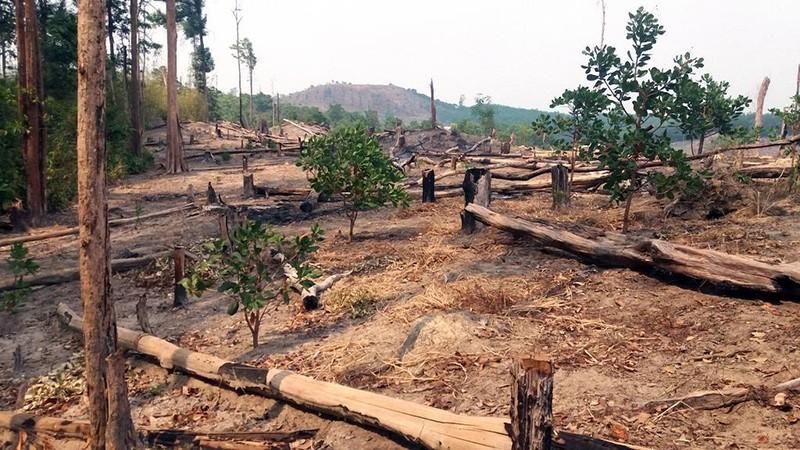 Thanh tra 240 ha rừng trồng bị mất  - ảnh 2