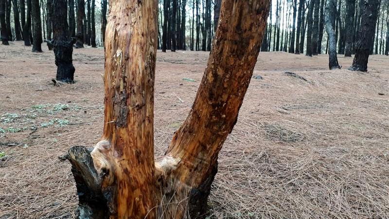 Báo động rừng thông bị cạo vỏ đem bán - ảnh 2
