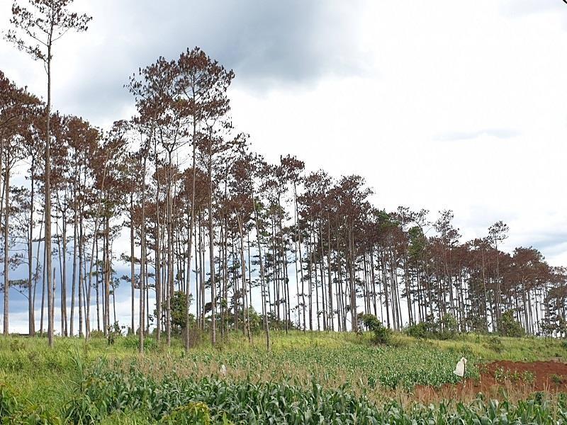 Đầu độc rừng thông, sáu người bị bắt tạm giam - ảnh 1