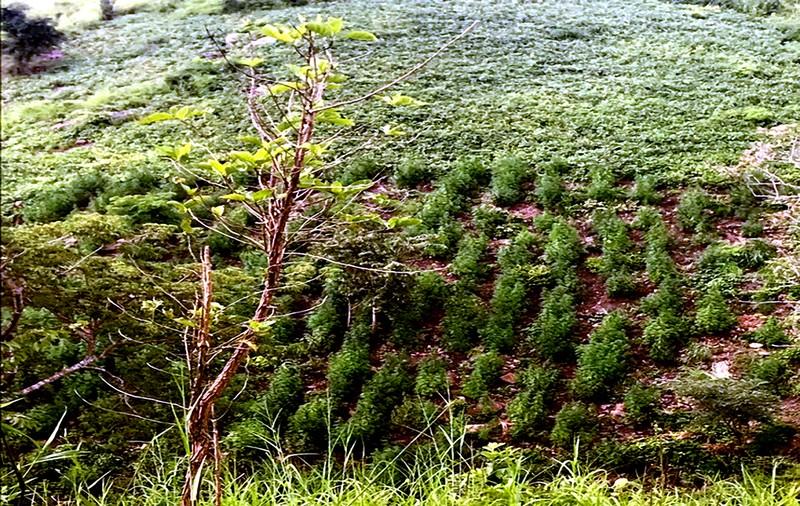 Phát hiện gần nửa tấn cây cần sa ven suối - ảnh 1