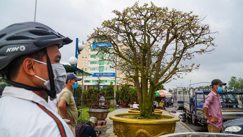 Đà Nẵng: 'Cụ' mai 100 tuổi năm nào cũng xuống núi biểu diễn - ảnh 5